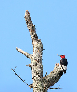 Red-headed Woodpecker 16 cm-11