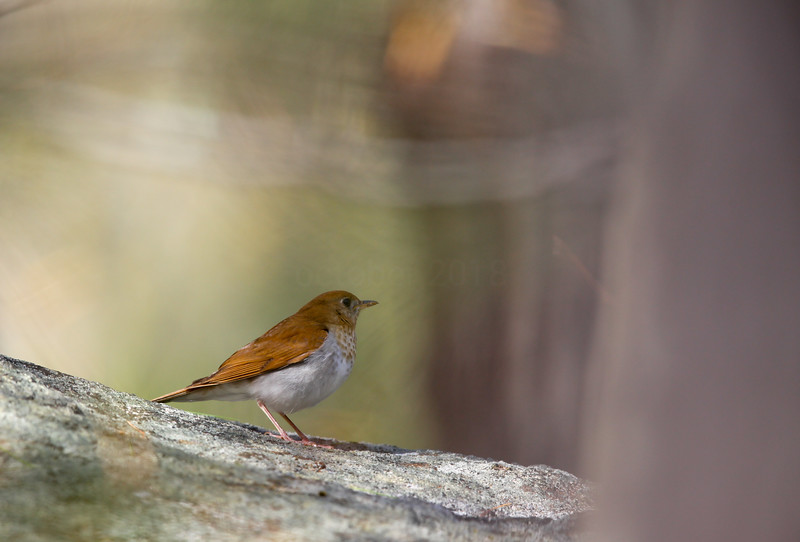 Veery G Abbey-12