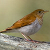 Veery G Abbey-13