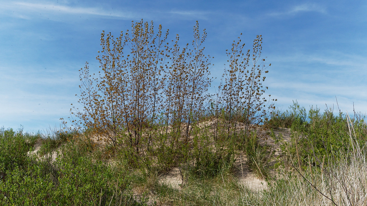 Trees on (Diminished) Dune