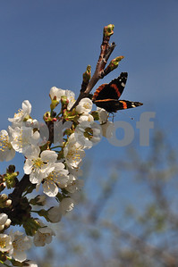 sb blossoms, butterfly