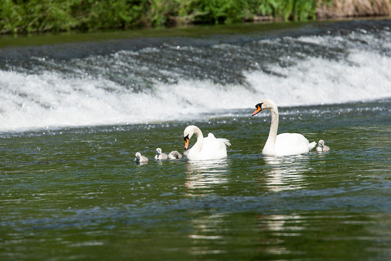 Mute Swans and Cygnets on the River Teme in Ludlow by the Weir