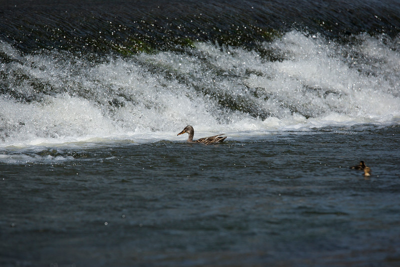 Mallard ducks near the weir on the River Teme in Ludlow