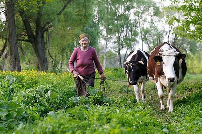 Babcia i jej krowy