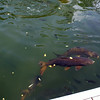 Big fish near the dock