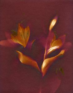 Magenta Lilies