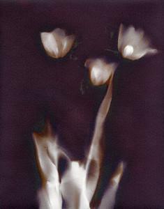 Three Tulips IV