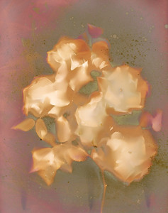 Jim's Roses IV
