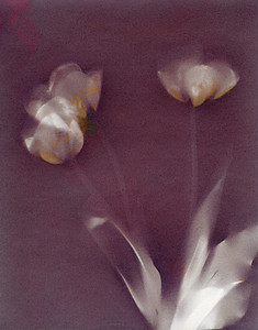Three Tulips II