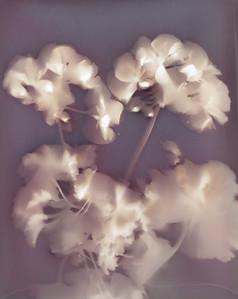 Mary's Geraniums