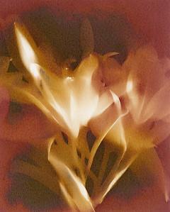 Three Lilies V