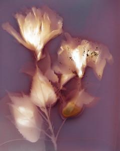 Mary's Hibiscus