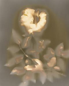 Hollow Rose