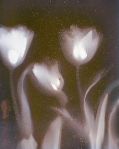 New Tulips