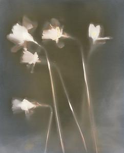 Five Daffodils