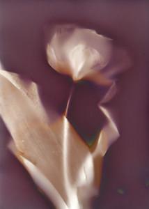 One Tulip I