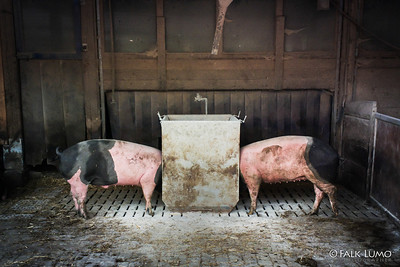 Headless Pigs