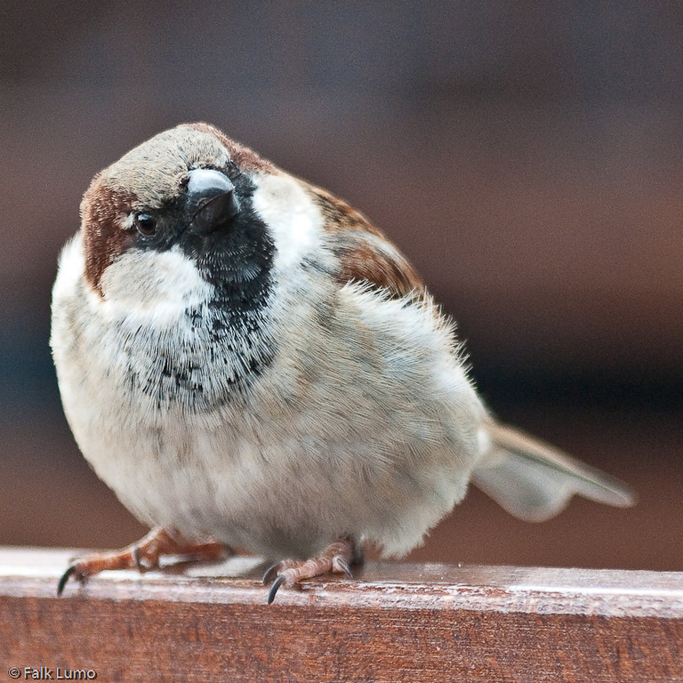 """""""Airport Sparrow"""" © Falk Lumo 2010 -- This is a sparrow at Munich Int'l Airport. Framed to 1000mm focal length (using the DA*60-250mm lens)"""