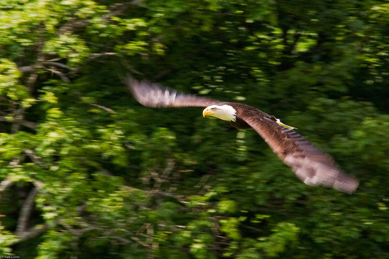 """""""Fast Eagle"""" © Falk Lumo 2008 -- An eagle at speed  With panning and taken at 1/180s to capture the speed. Taken with the K20D and a superzoom at 200mm. Cropped to the equivalent of 600mm on a 35mm camera."""
