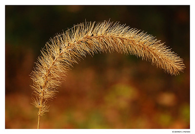 Bent Grass (Nikon D80, f4.5, 1/250 sec, ISO 100, w/tripod)
