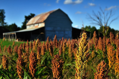 Fall Sorghum September 30, 2009