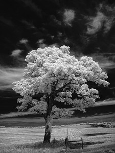 A Single Tree June 15, 2009  Captured with an infrared-converted Nikon D70s.