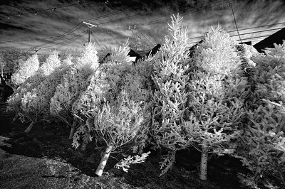 Albino Christmas Trees December 2008