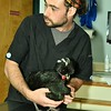Veterinary Nurse, Misha Cherlate working with Dawn Chick King, a Crested Chicken.<br /> Sentinel & Enterprise / Jim Fay