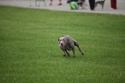 Lure Coursing at the Monroe County Fairgrounds for the MKC Dog Show 9/28/2014