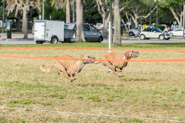 Spa Beach Central FL Sighthound Racing Club