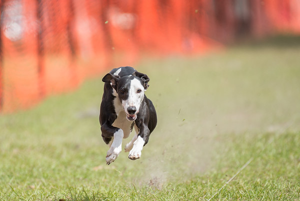 Suwannee Valley Kennel Club/GOGLCA FastCATS 2018