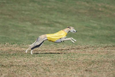 Lure Coursing 2016