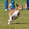 Lure Coursing : 87 galleries with 8433 photos