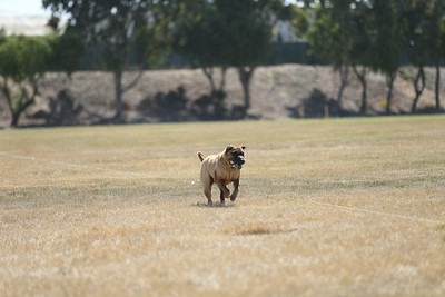 Lure Coursing Hollister June 2017 Day Two