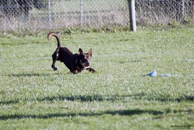 Lure Coursing, KCC Park, Aug. 2005