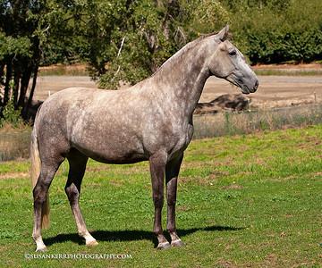 Mazurka in foal to Gengibre da Boa Nova