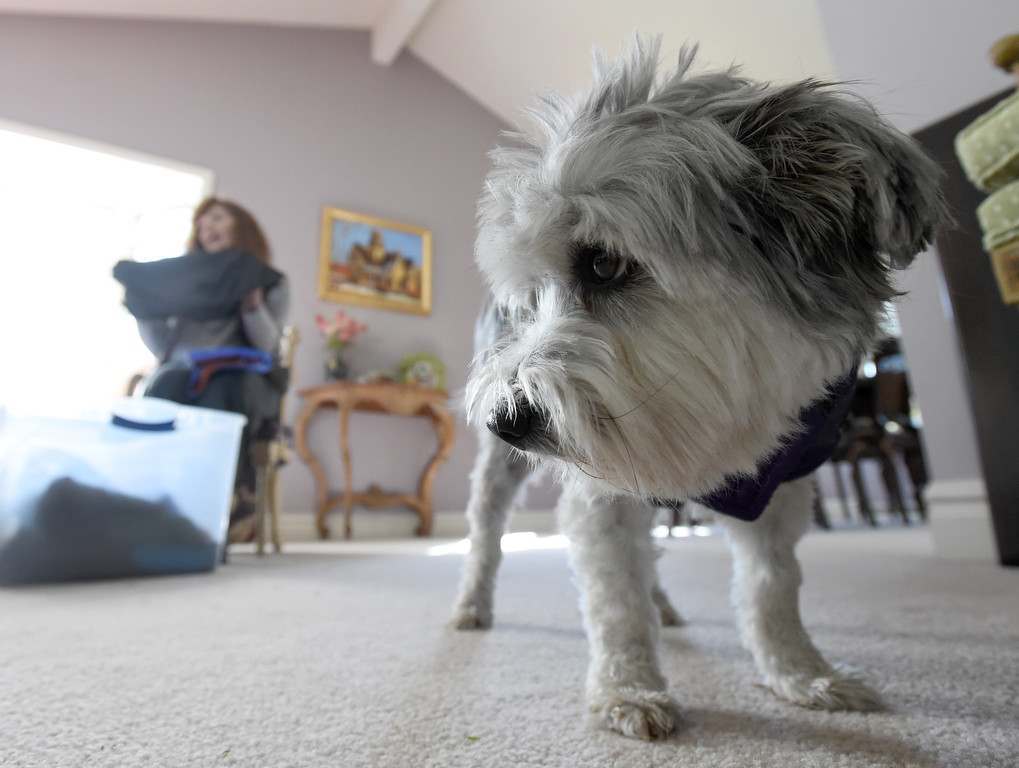 . Teddy the dog models one of the coats during a fitting session.  Fran Blum, of Boulder, has a business that makes luxury coats for dogs. Cliff Grassmick  Staff Photographer October 13, 2017