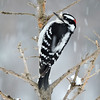 Woodpecker (Downy) (6)