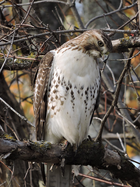 Red-Tailed Hawk (18)