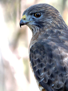 Hawk (Red-tailed) (22)