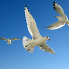 Seagulls (39)