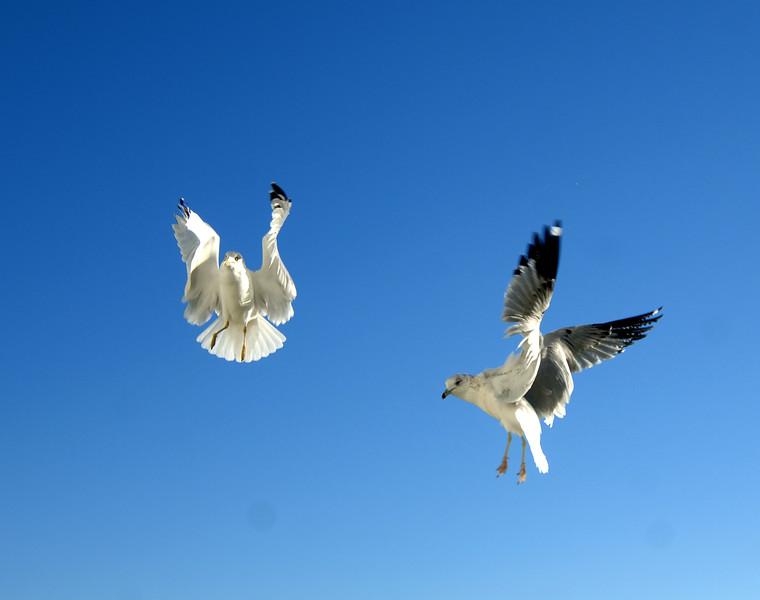 Seagulls (8)