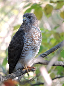 Hawk (Red-tailed) (10)