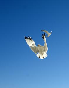 Seagulls (18)