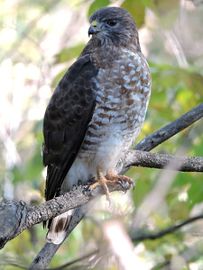 Hawk (Red-tailed) (6)
