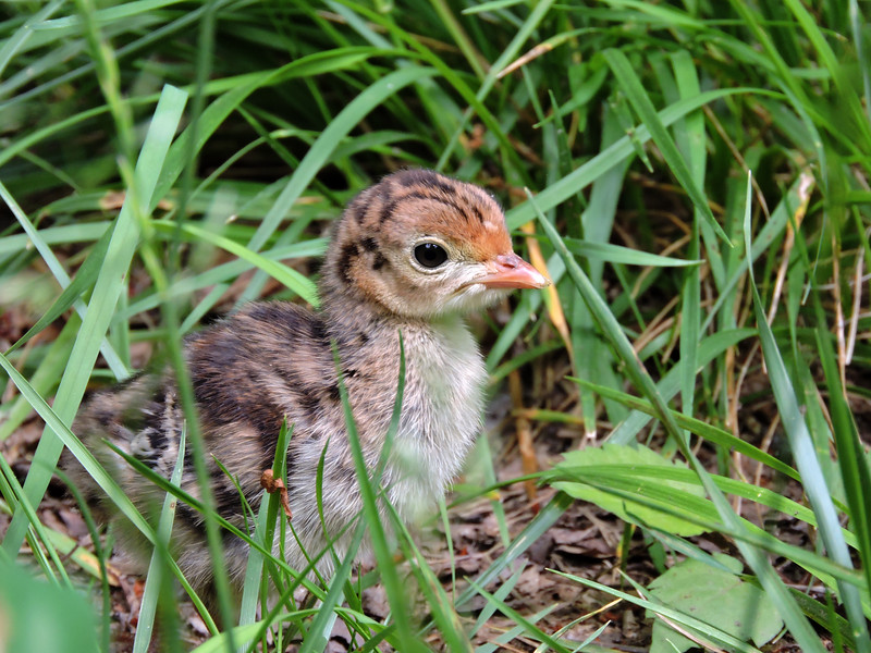 Turkey Chick (2)