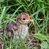 Turkey Chick (2)