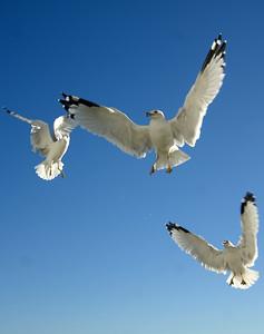 Seagulls (25)