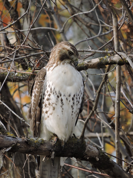 Red-Tailed Hawk (17)