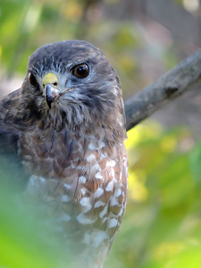 Hawk (Red-tailed) (17)